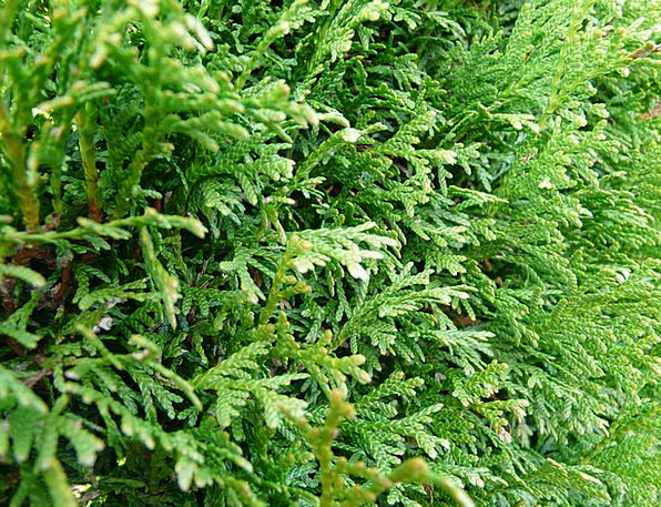 Thuya Hedge Thuja Tree Of Life Ornamental Plant Cy