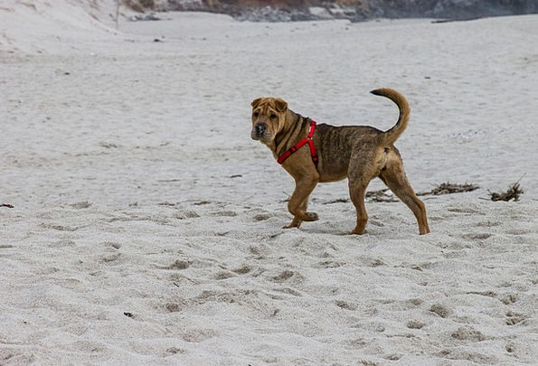 Beach Seashore Vacation Canine Travel Shar Pei Dog