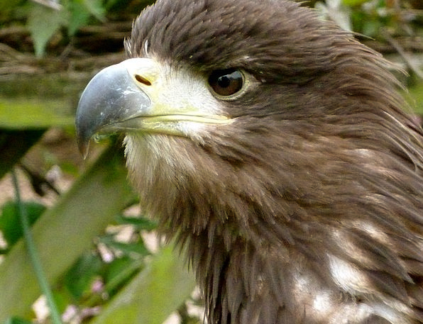 Eagle Judgment Beak Bill Eye Raptor Bird Fowl Pred