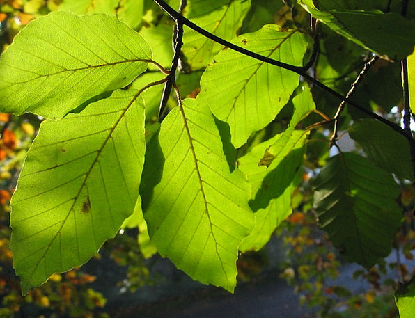 Beech Greeneries Tree Sapling Leaves Sun Rays Clos