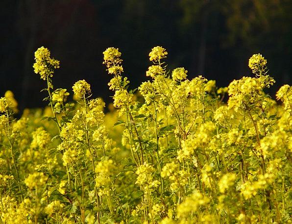 Oilseed Rape Landscapes Nature Flower Floret Field