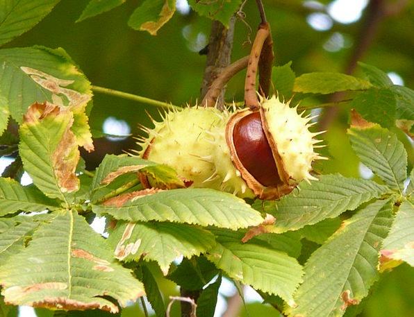 Chestnut Anecdote Traffic Transportation Tree Sapl