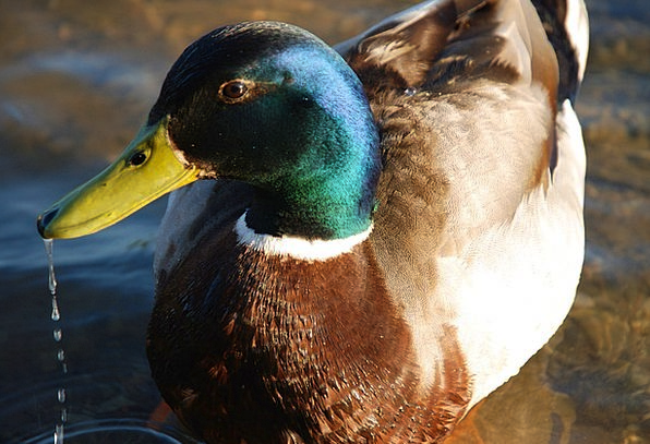 Duck Stoop Male Masculine Mallard Bird Fowl Avian