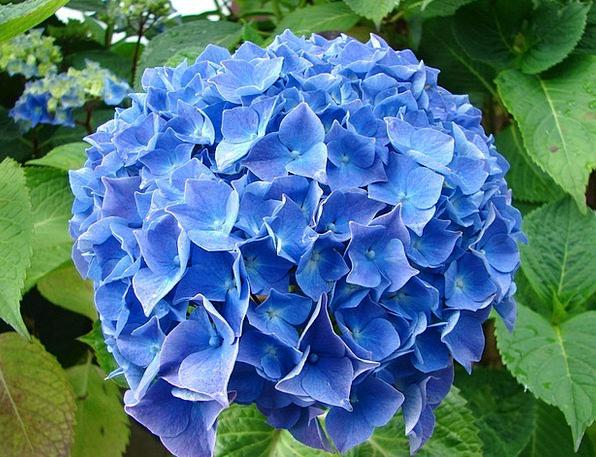 Hydrangea Floret Blue Azure Flower