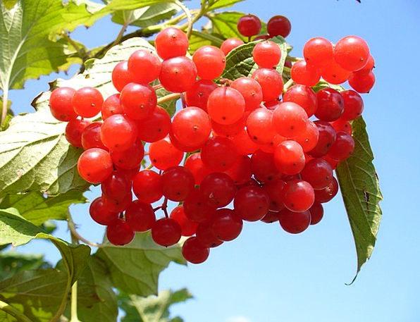 Cranberry Crimson Landscapes Nature Bush Scrubland