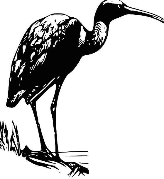 Ibis Shorebird Wading Bird Bird Fowl Waterbird Woo