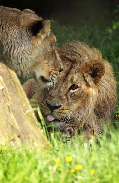 Africa Animal Physical African Lion Carnivore Fles