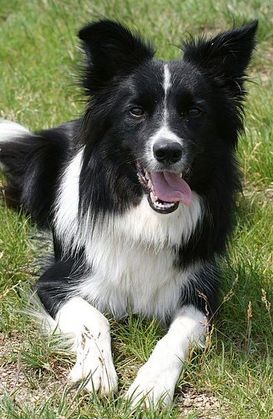 Dog Canine Border Collie Collie Black And White