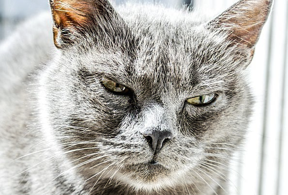 Cat Feline Annoyed Unhappy Unfortunate Angry Wild