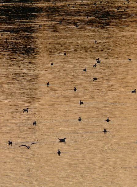 Ducks Dears Stream Abendstimmung River Romance Lat