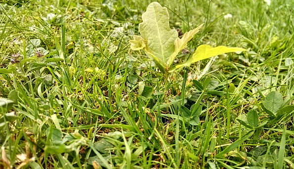 Scion Cutting Landscapes Nature Tree Sapling Oak M
