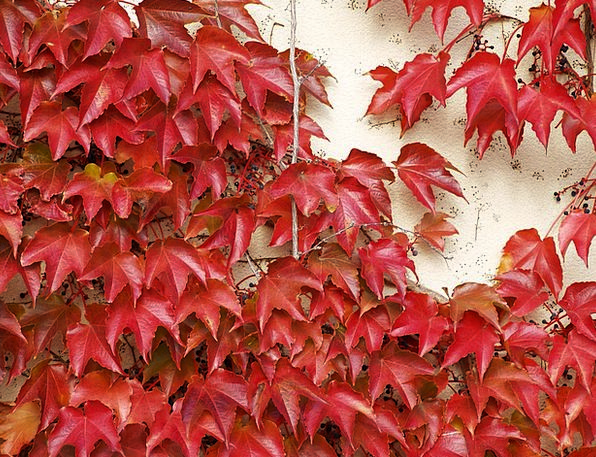 Textura Hue Red Bloodshot Color Foliage Greenery A