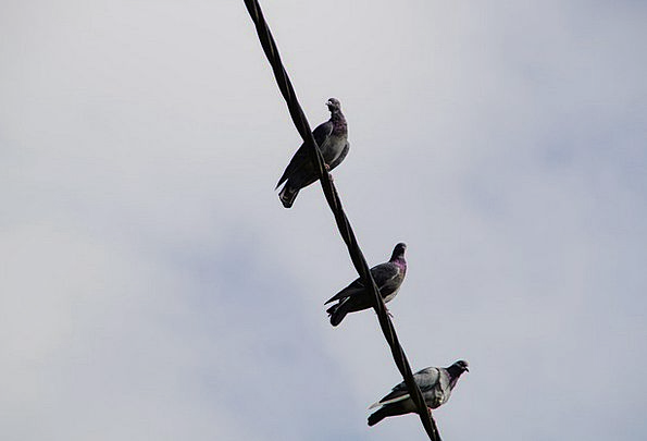 Pigeons Marks Sit Be seated Power Line Gather Fold