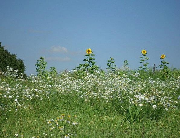 Summer Straw-hat Chamomile Flower Meadow Sunflower