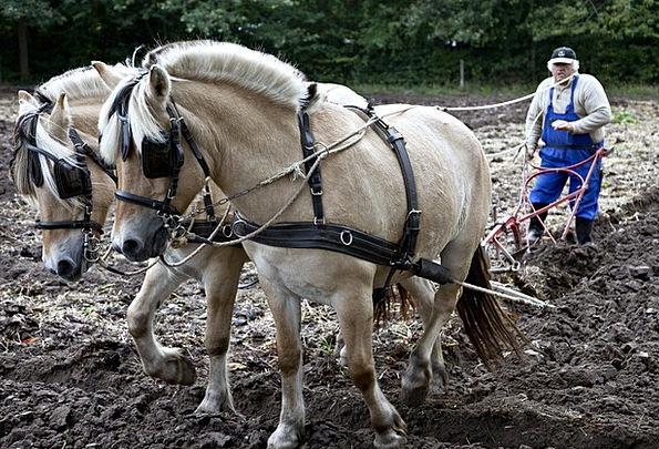 Horses Cattle Landscapes Cultivator Nature Plowing