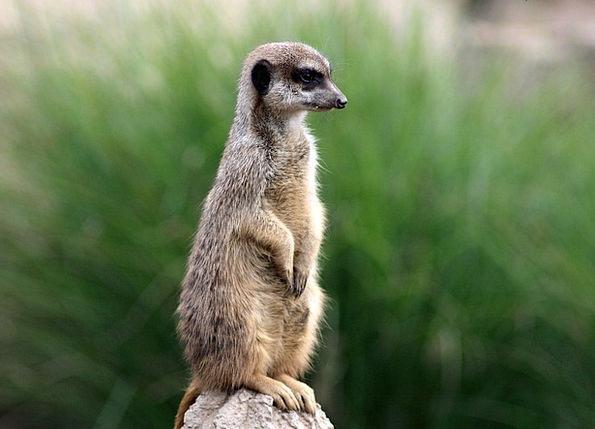Zoo Menagerie Landscapes Faunae Nature Meerkat Ani