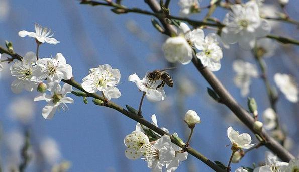 Blossoming Plum Landscapes Nature Bee Mirabelka Fl