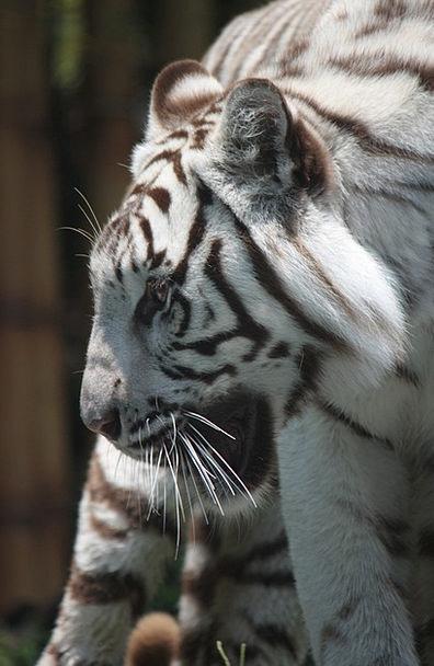 White Tiger Menagerie Sigfried And Roy Zoo Predato