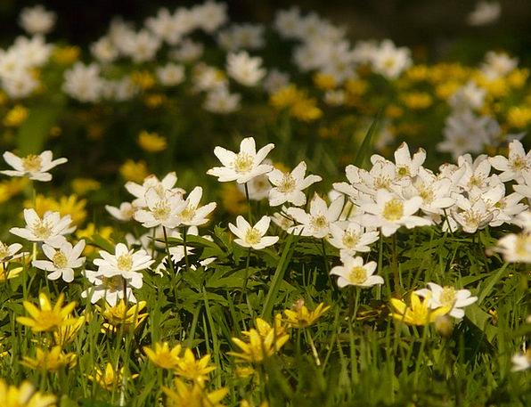 Wood Anemone Landscapes Nature Hahnenfußgewächs An