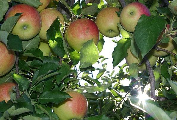 Apple Drink Option Food Orchard Plantation Picking