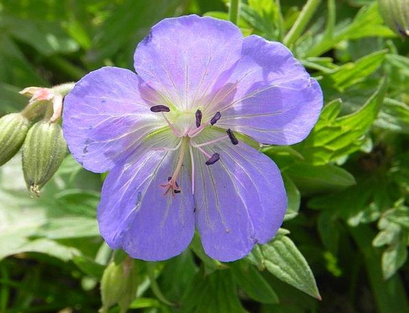 Cranesbill Landscapes Instruction Nature Purple El