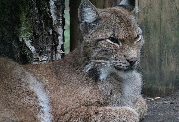 Lynx Felidae Canadian Lynx Cat Feline Animals Lynx