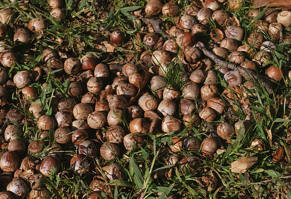Acorn Enthusiast Shell Bomb Nut Scattered Disperse