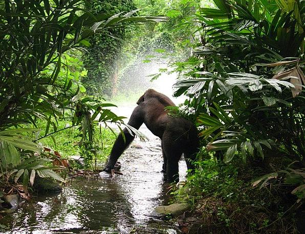 Gorilla Brute Rainforest Mist Haze Jungle Powerful