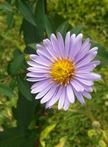 Aster Landscapes Nature Yellow Creamy Wild Flower