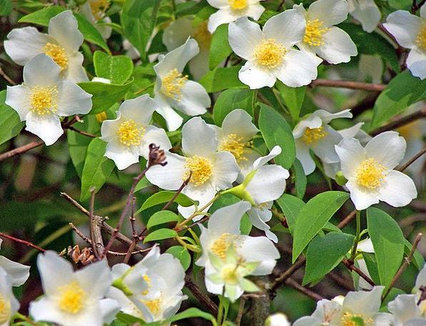 Cornus Dogwoods Woody Plant White Snowy Blossoms S