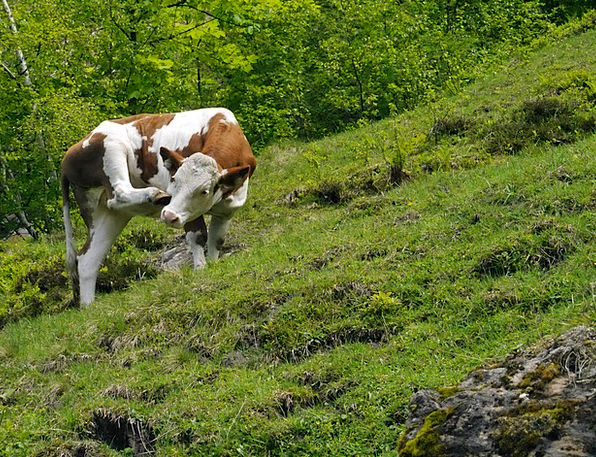 Cow Intimidate Alm Austria Scratching Itching Rear