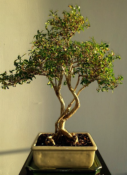 Bonsai Landscapes Nature Green Lime Leafs Asian Tr