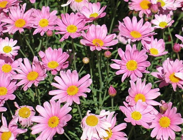 Daisies Landscapes Floret Nature Pink Flushed Flow