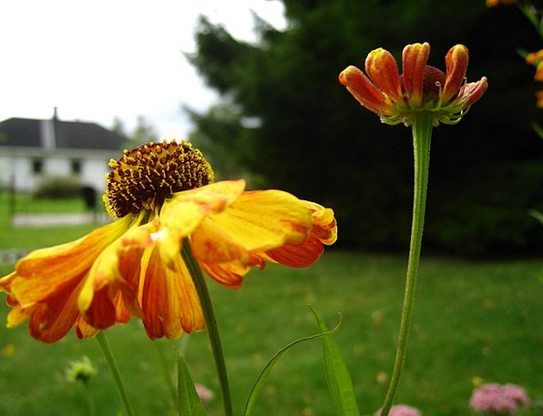 Coneflower Buildings Carroty Architecture Flowers