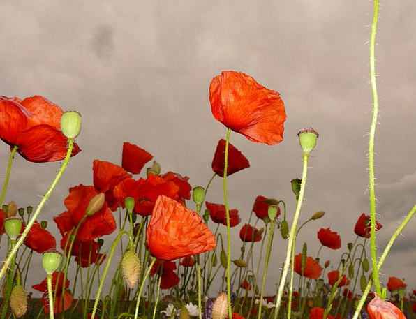 Red Poppy Landscapes Nature Meadow Field Klatschmo