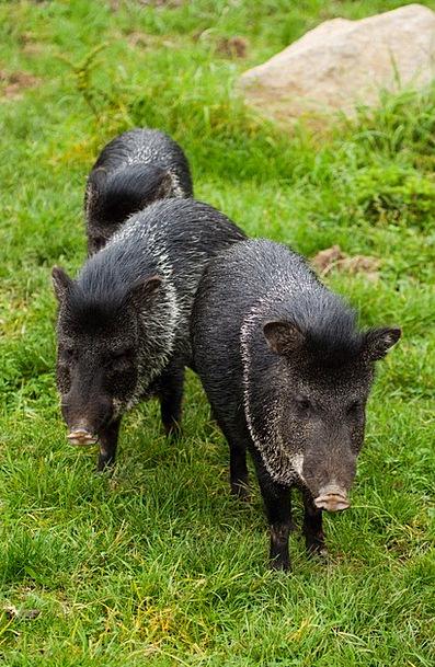 Animal Physical Dark Boar Pig Black Standing Grass