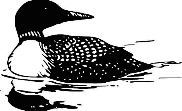 Loon Divers Various Common Loon Bird Fowl Diving B