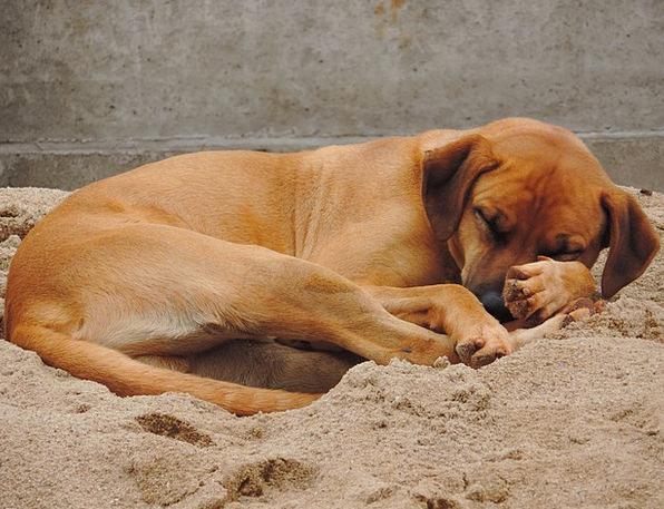 Dog Canine Chocolate Sleeping Asleep Brown Sand Sh