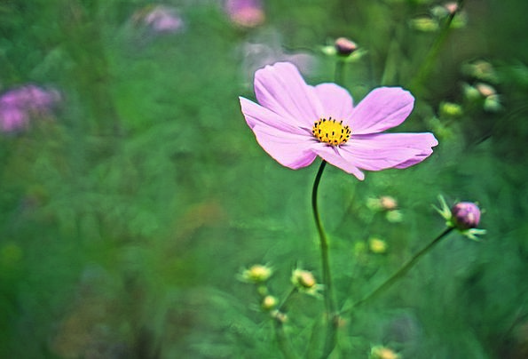 Cosmos Universe Plants Autumn Fall Flowers