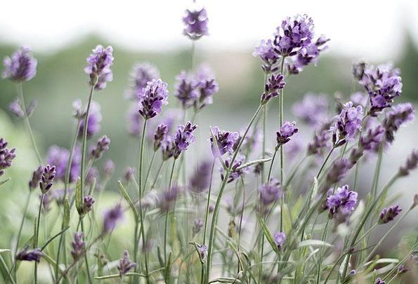 Lavender Landscapes Elaborate Nature Lavender Flow