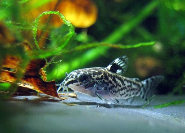 Dwarf Corydoras Fish Angle Aquarium Freshwater Fis