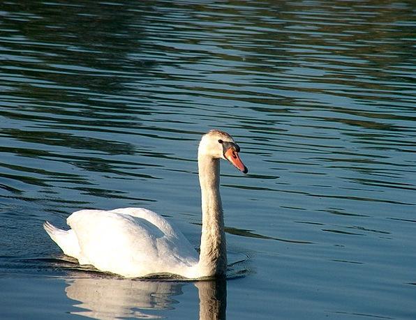 Swan Wander Physical Water Bird Animal Nature Coun