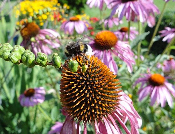 Hummel Landscapes Nature Echinacea Sun Hat Bee Flo