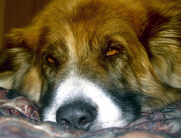 Dog Doglike Pet Domesticated Canine Saint Bernard