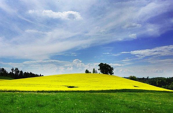 Field Of Rapeseeds Landscapes Nature Landscape Sce