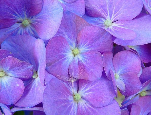 Hydrangea Floret Inflorescence Flower Purple Elabo