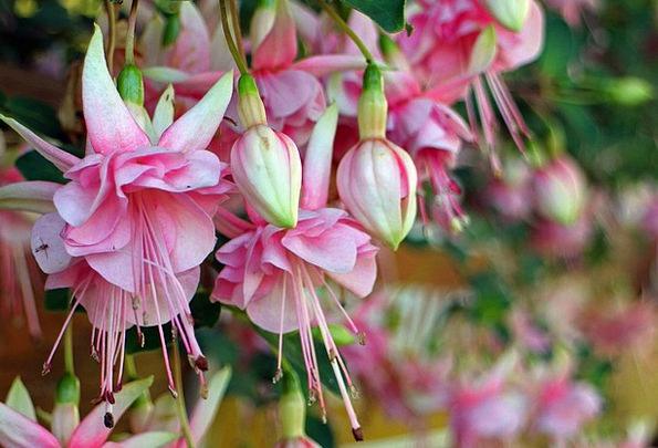 Fuchsia Rose-colored Near Balcony Plant Close Flow