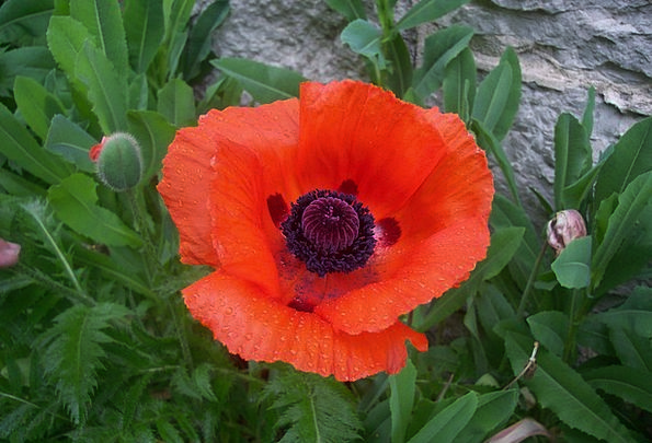 Poppy Floret Red Bloodshot Flower Blooming Plants