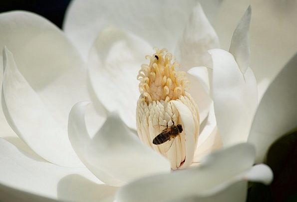 Magnolia Floret White Snowy Flower Pollen Bee Clos