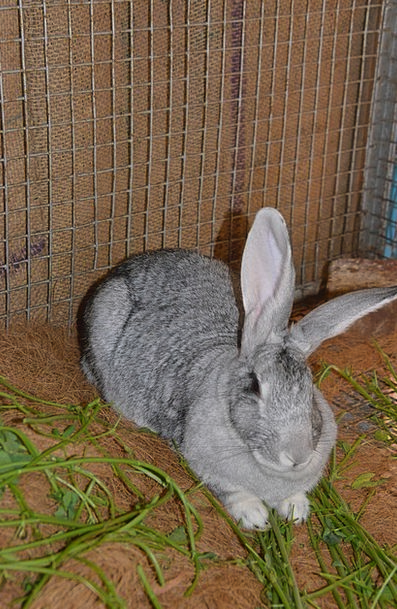Rabbit Bunny Animal Physical Hare Grey Old Pet Fur